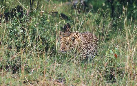 24_Leopard_NR