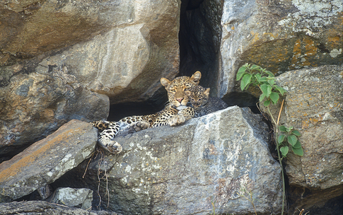 09_Leopard_NR