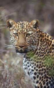 11_Leopard_NR