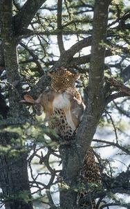 07_Leopard_NR