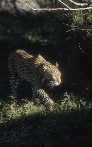 17_Leopard_NR