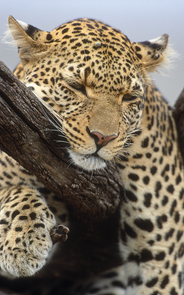 19_Leopard_NR