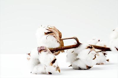 サスティナブルファッションに使用されるエコフレンドリーな素材(オーガニックコットン)