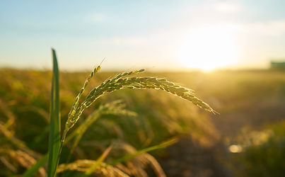 detail-rice-plant-sunset-valencia-with-p