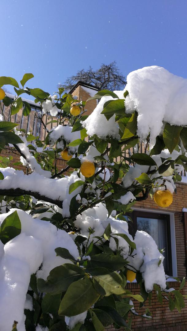 Rome Lemon Trees in Snow Feb. 2018