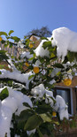 Rome Lemon Trees in Snow Feb. 2018
