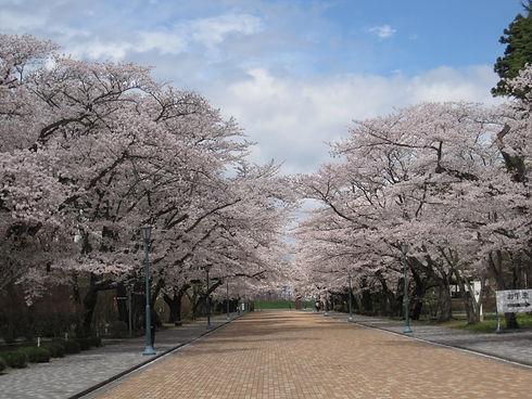 桜並木1.jpg