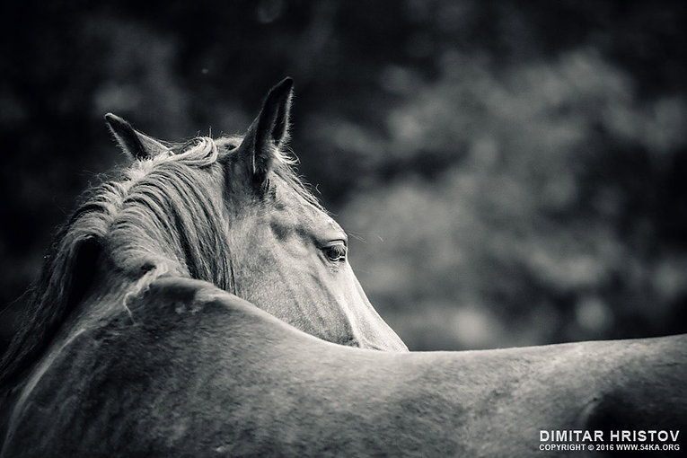 close-up-of-a-horse-head-horse-monochrom