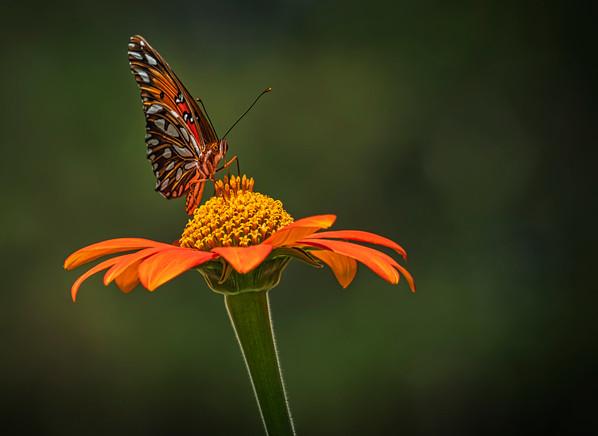 'Gulf Fritillary Butterfly' by Stephen Haydon