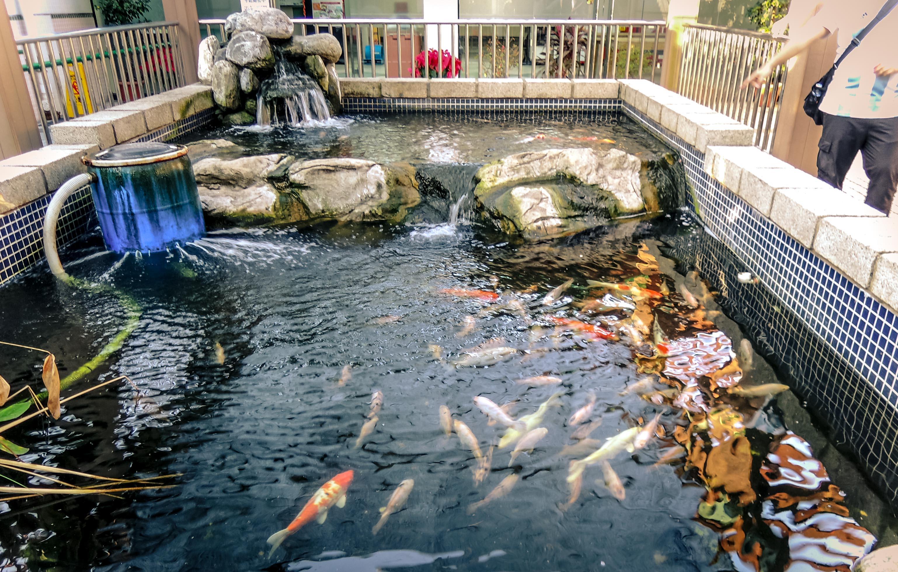 利嘉銘_ 魚池中的「鯉」