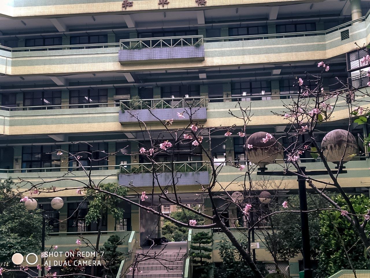 蔡睿宸_學校的櫻花