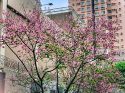 林梓祺_希望這櫻花樹能帶給香港人抗疫的希望