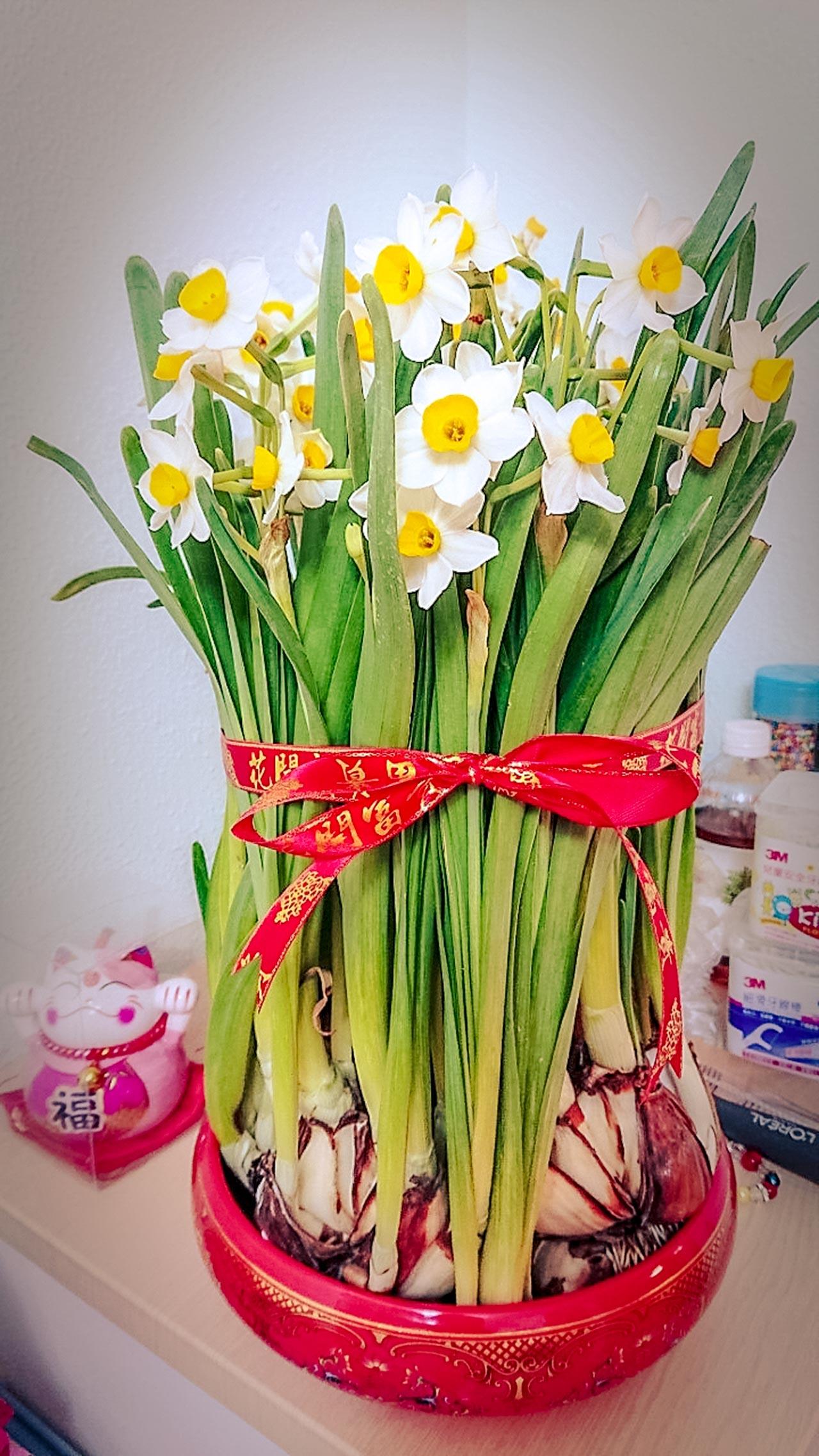 譚心愉-農曆新年,我最喜歡的年花是水仙花