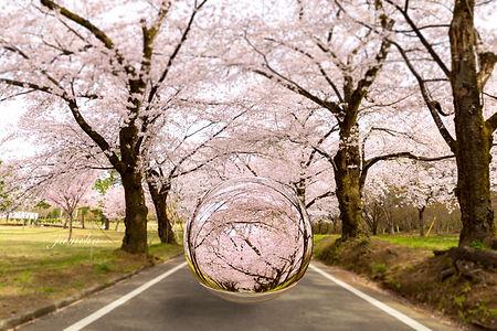 桜玉.jpg