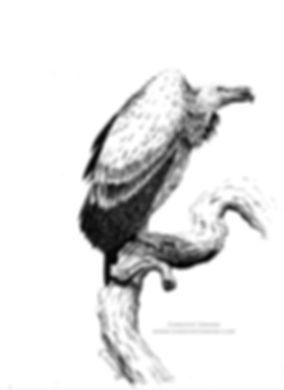 Vulture-watermark.jpg