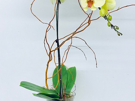 Caring for Orchids in Calgary