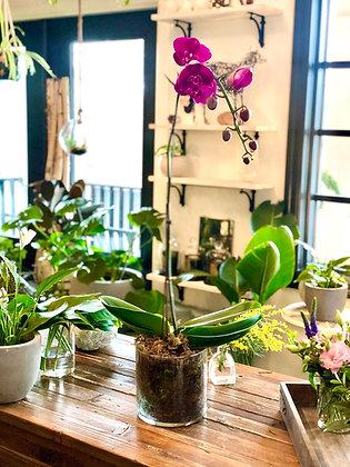 Large Phalaenopsis Orchid Plant in Vase