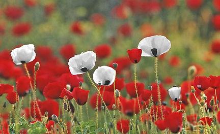 white-red-poppies.jpg