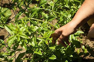 Krapppflanze im 2. Jahr.jpg