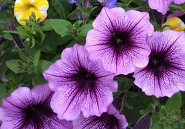 Petunias Purple.jpg