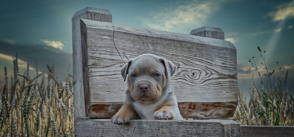American Bully Kennel, ABKC, American Bully Züchter, Zucht, Welpen, tricolour, blue, champagne, lilac, lilac tri, XL Bully