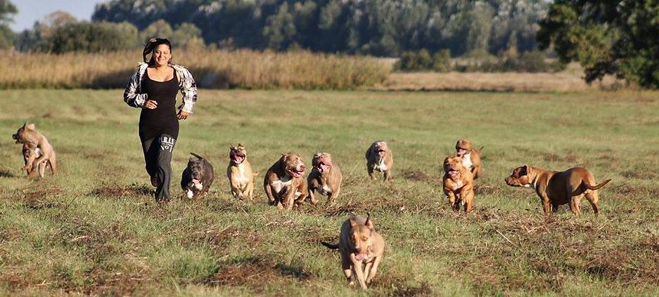 American Bully Hundezucht, Österreich, Ungarn, Budapest