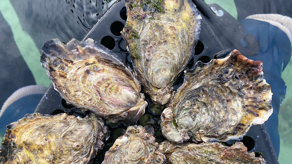 10 dozen oysters - Adelaide Pick Up