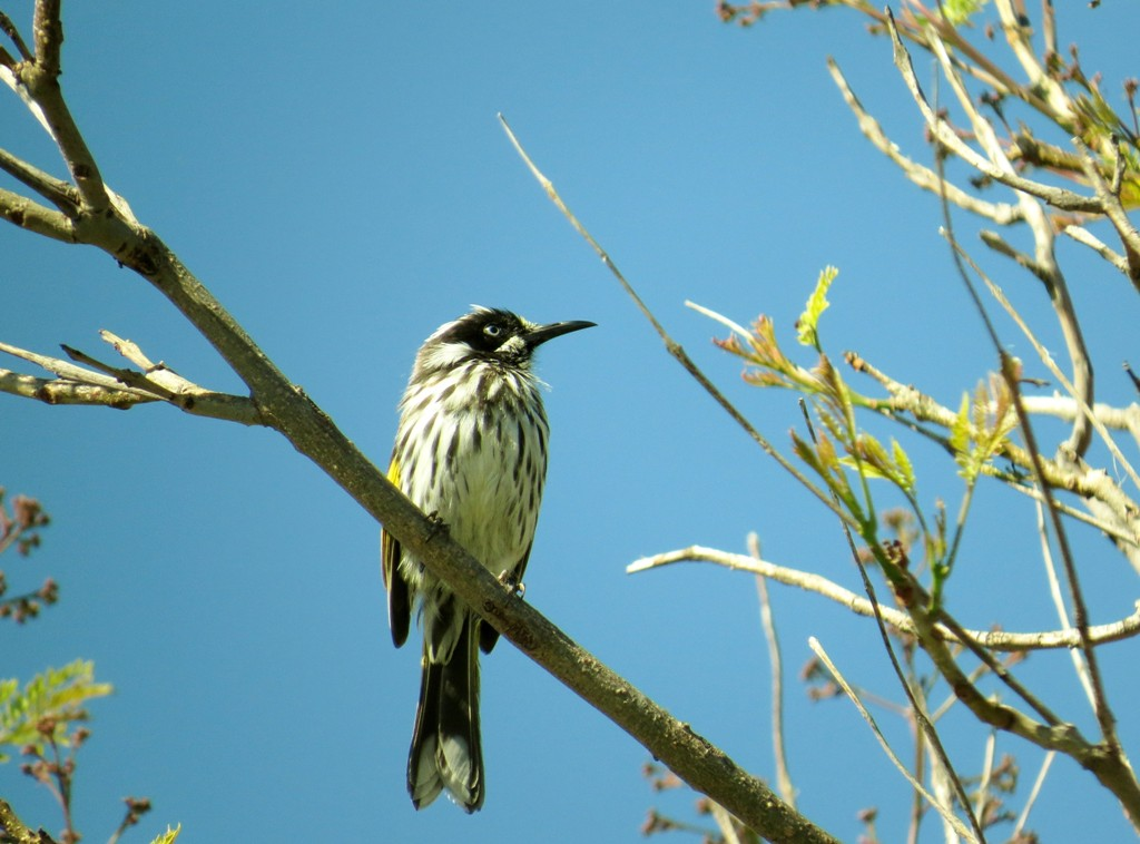 New Holland Honey Eater