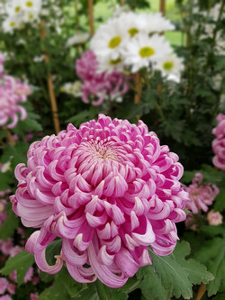 Chrysanthemums - Fiona Lawrence
