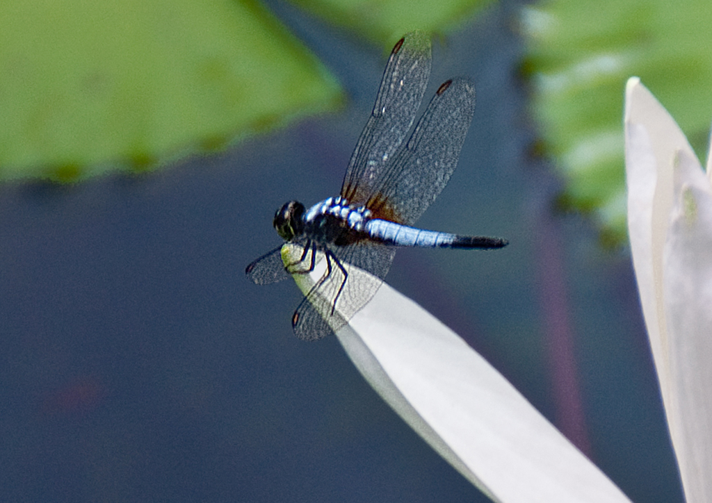 Dragonfly on a Lily