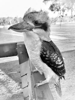 Tasha Munro - Kookaburra