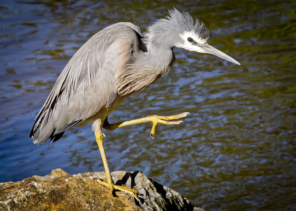 White faced heron_D3100_20121019.jpg