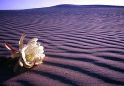 Cactus Flower Dunes