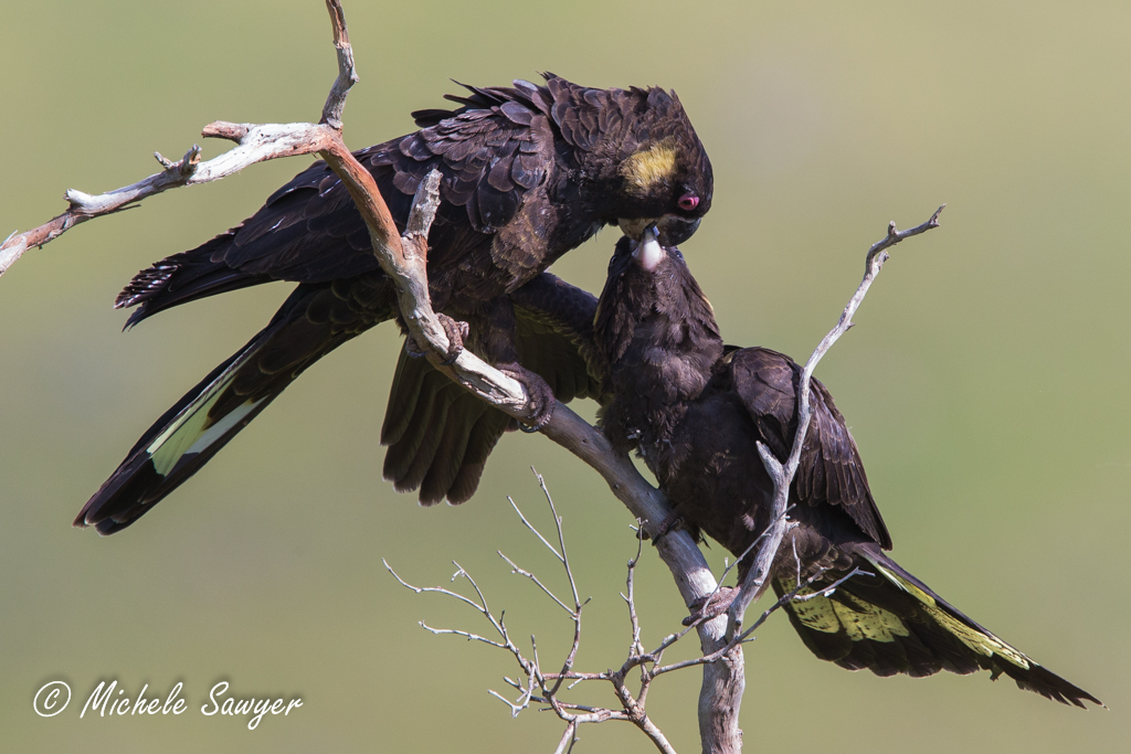 Michele Sawyer Yellow-tailed Black Cockatoos