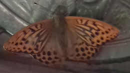 silver tipped fritillary butterfly