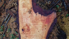 Old fallen Alder tree