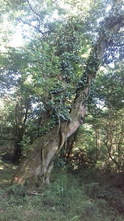 Ancient Ash Tree