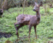 Young female deer