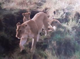 kenya lions.jpg