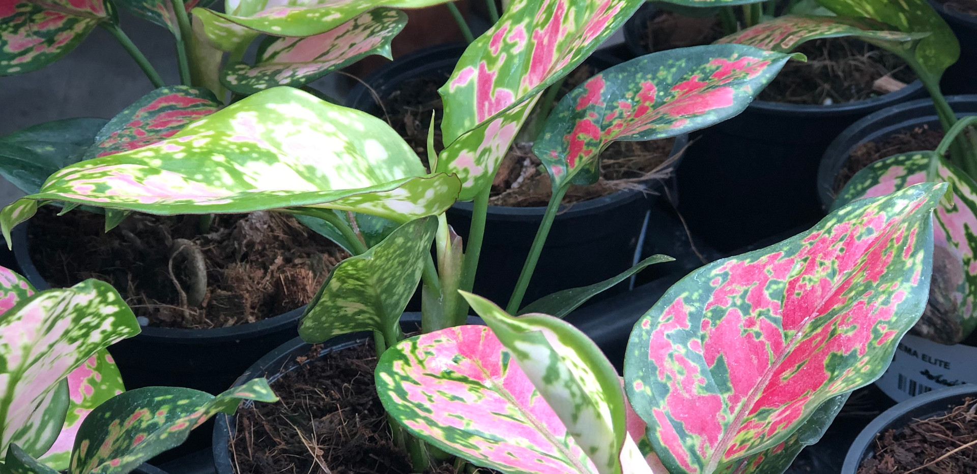 Aglaonema elite_5677.jpg