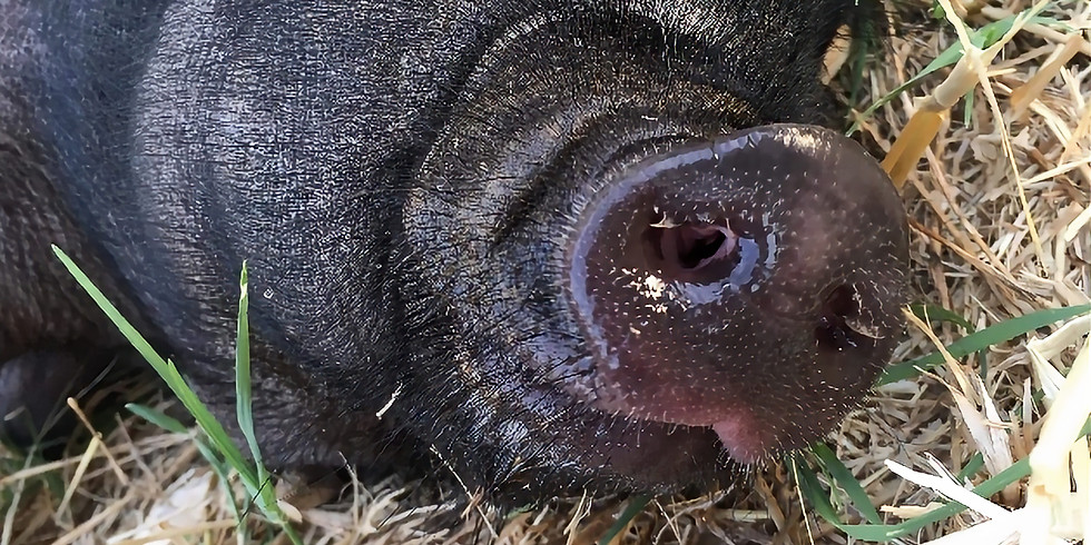 Hogeye Festival:  Pig Painting and more!