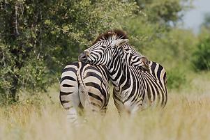 Ein Zebrapaar in der Safari