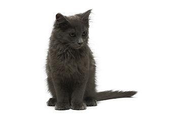 Un chaton gris