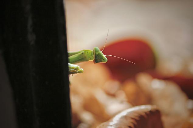 AK Lechner _Praying Mantis_Portrait