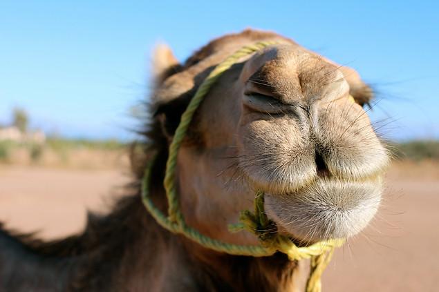AK Lechner _Camel_Portrait