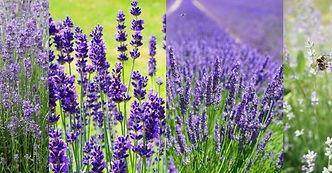 Blackthorn Estates Lavender.jpg