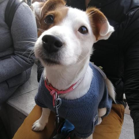 Jackrussel terrier