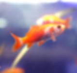 vendita pesci rossi milano