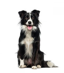 Border Collie a Milano