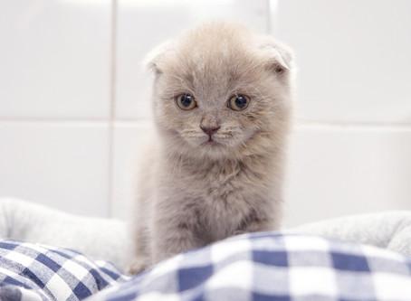 Disponibilità cuccioli di gatto a Milano - Settembre 2020